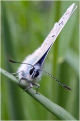 Azuré de la Bugrane mâle 1 (Polyommatus icarus)