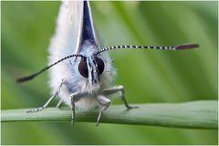 Azuré de la Bugrane mâle 2 (Polyommatus icarus)