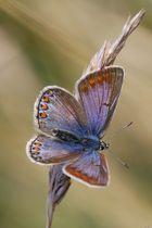 Azuré violet