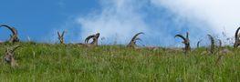Steinböcke am Brienzer Rothorn von wolftegt