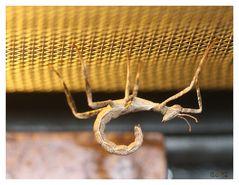 Baby der Auastralischen Gespinstschrecke
