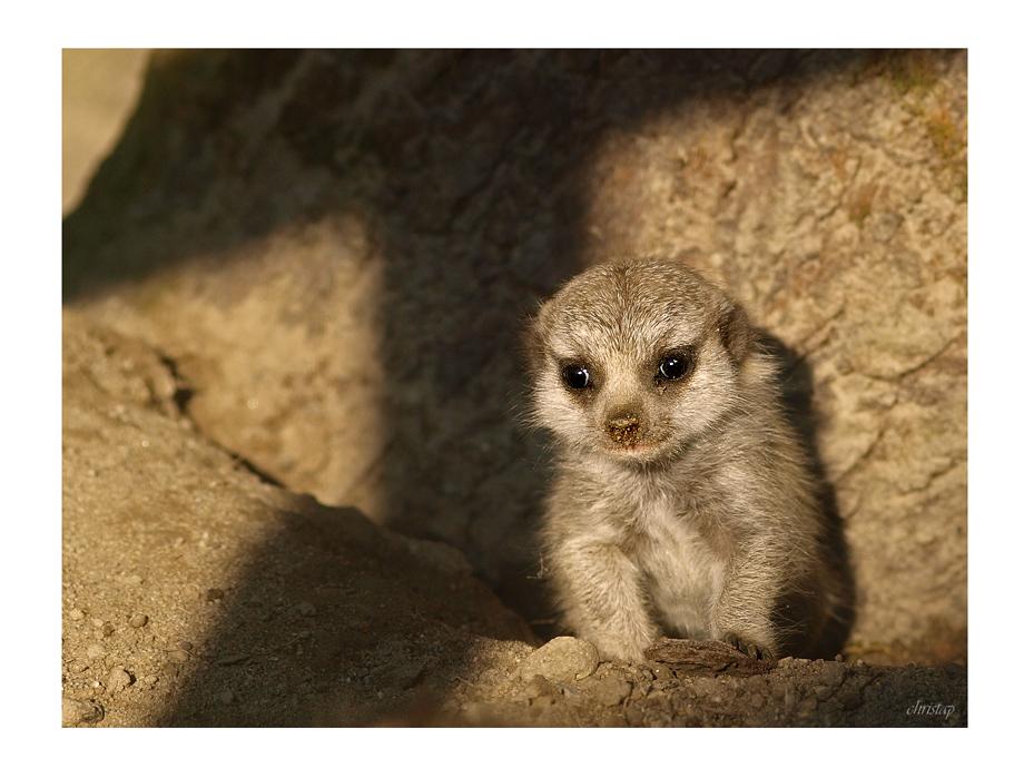 Baby-Erdmännchen ...