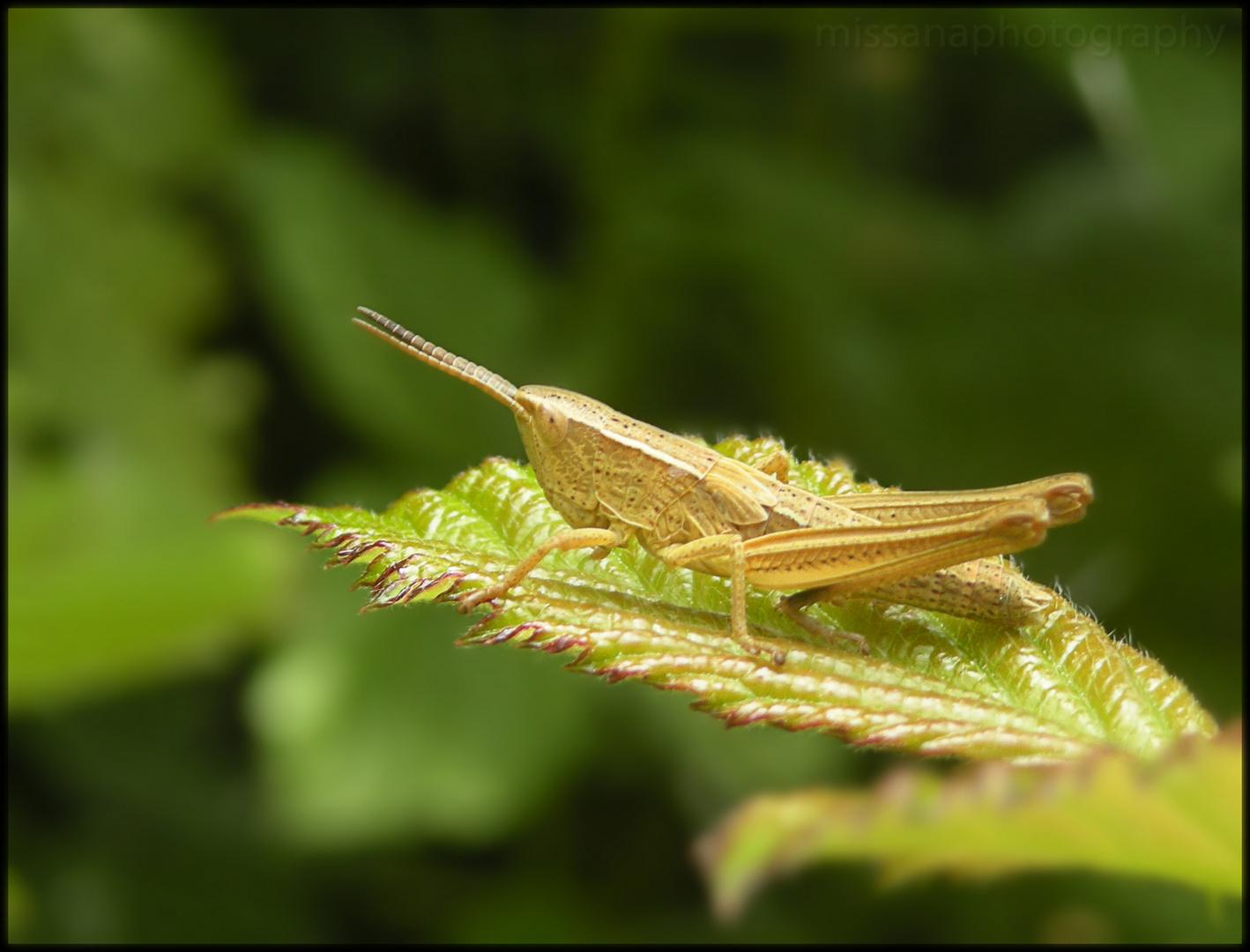 baby grasshoper