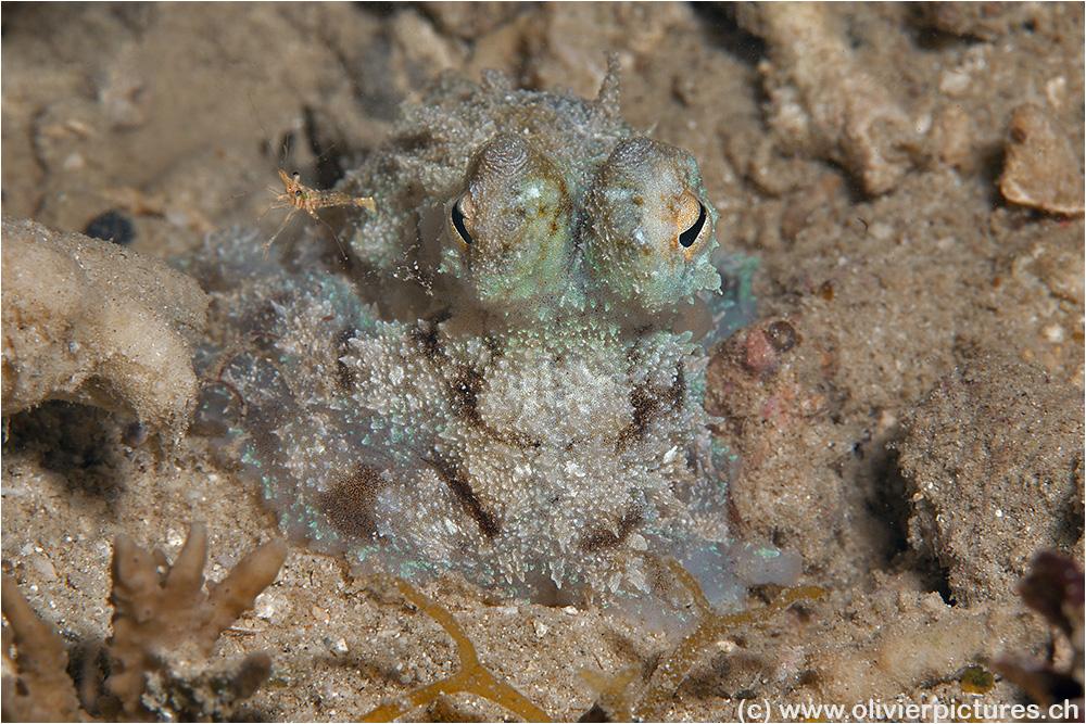 Baby Oktopus
