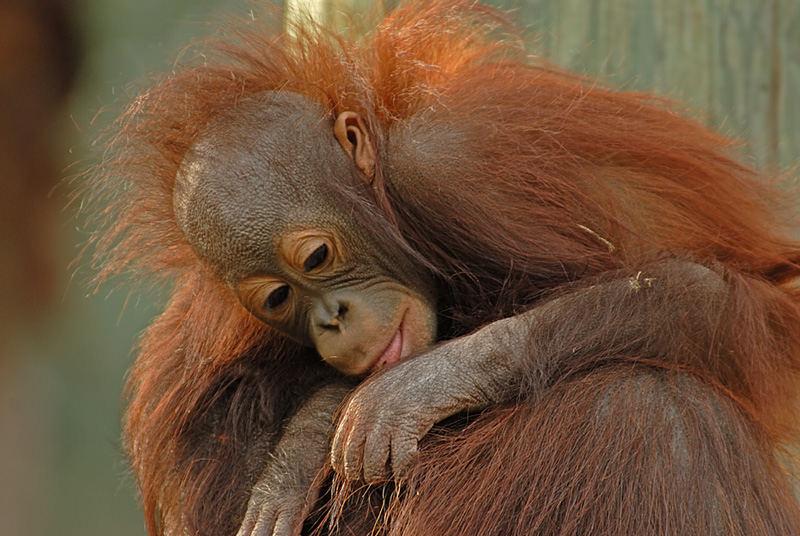 Baby Orangutan, Another View