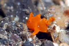 Baby-Painted-Frogfish