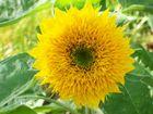 Baby-Sonnenblume