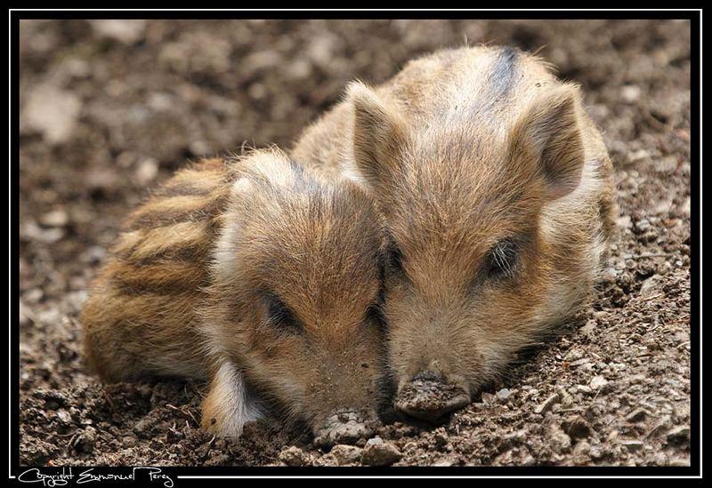 Baby Wildschweine