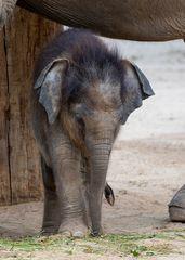 Babyfant