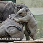 Babyfant ganz groß