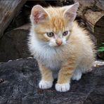 Babykatze