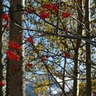 bacche d'autunno