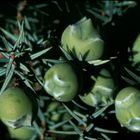 Bacche di ginepro coccolone - Juniperus macrocarpa - Sardegna