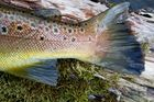 Bachforelle, Brown Trout, Flyfishing