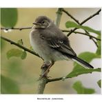 Bachstelze - Jungvogel
