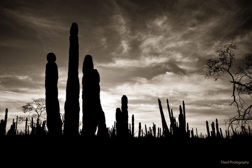 : backlight cacti desert :