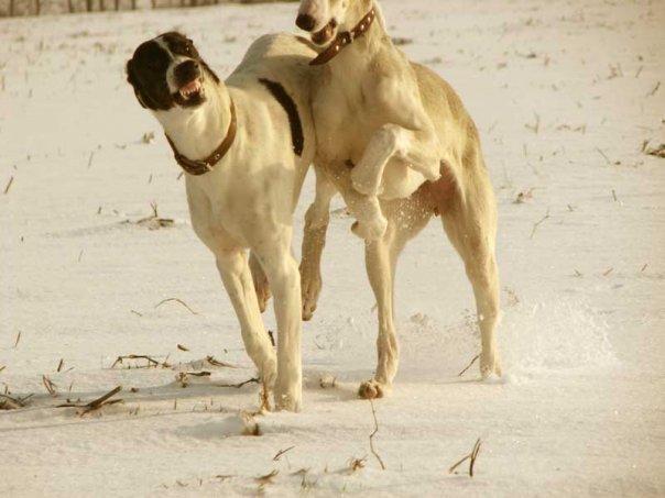 Bad Dogs (Eastern Greyhound)