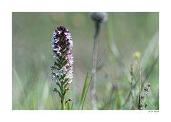 Badberg - Orchidee