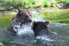 badende Bären