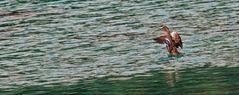 Badende Ente im kalten, turkisfarbigen Wasser des Grünen Sees!