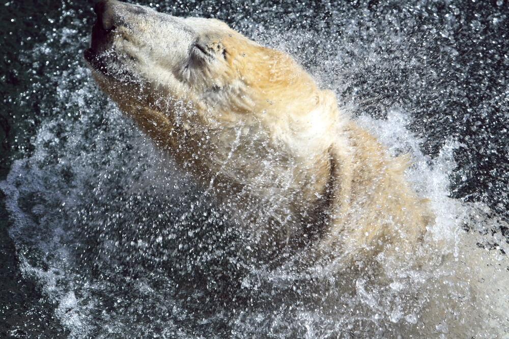 Badender Eisbär