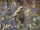 Badender Grünfink im Gartenteich - Tarnzelt