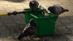 Badetag der Tauben in Frankfurt