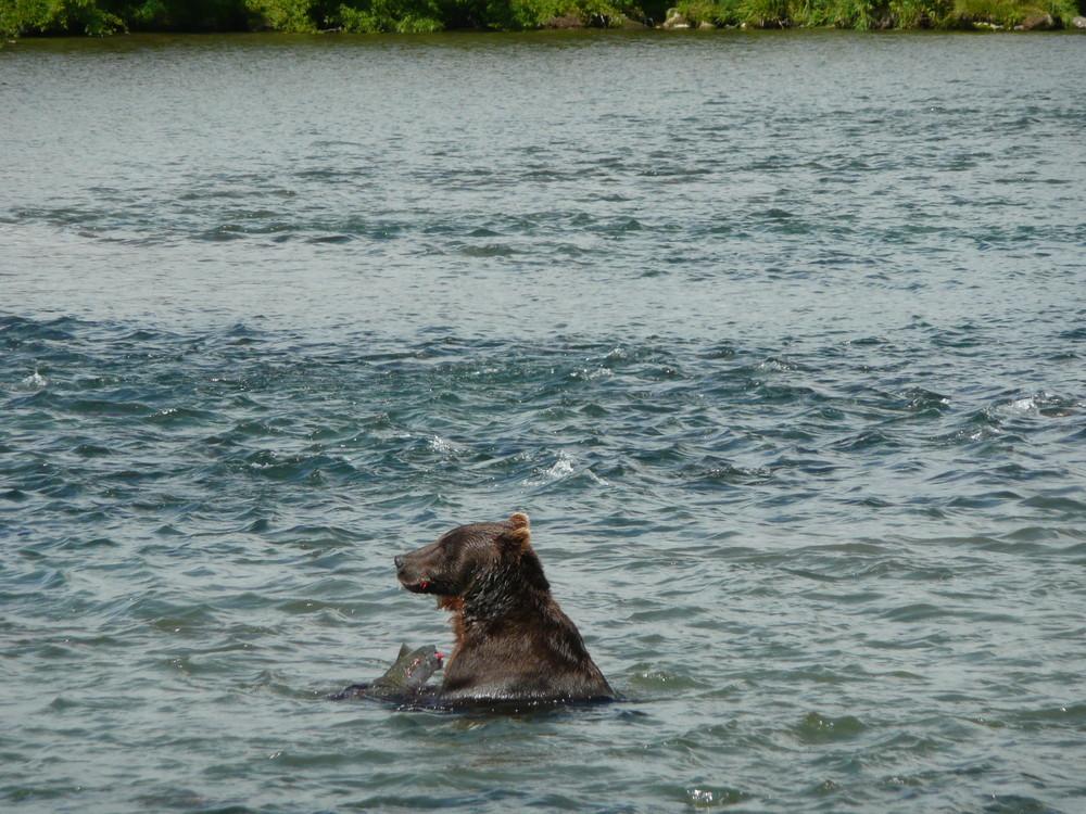 Bär am Kurilensee - Kamtschatka