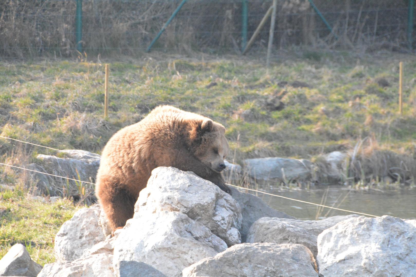 Bär beim Sonnenbaden im Wildpark Poing bei München