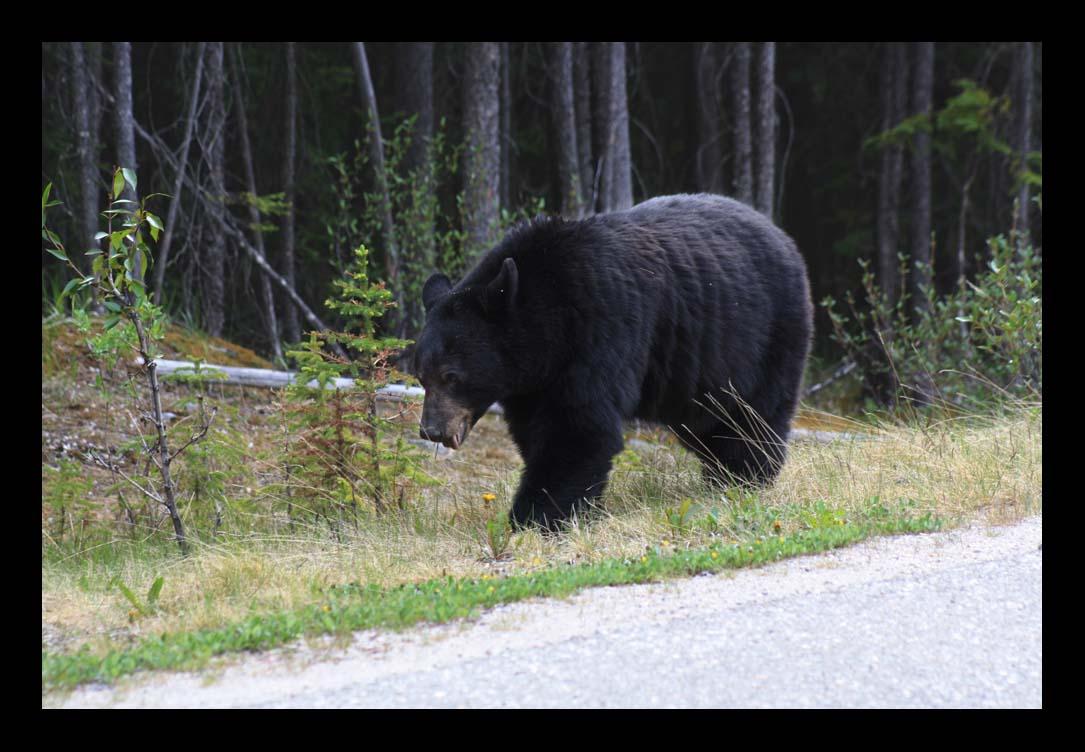 Bär - Jasper - Canada
