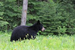 Bären...