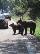 Bären an der Transfagarasan