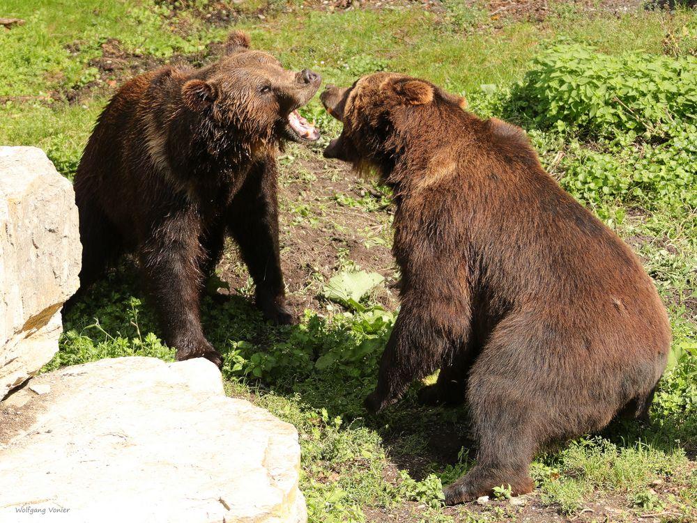 Bären beim Meinungsaustausch