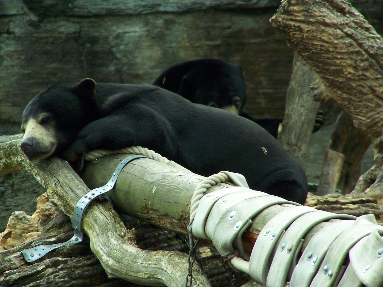 Bären beim ruhen