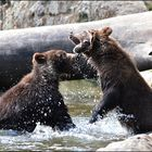 Bären Fight !!!!