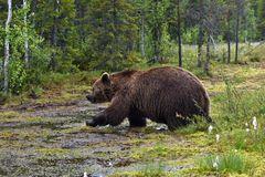 Bären in freier Wildbahn