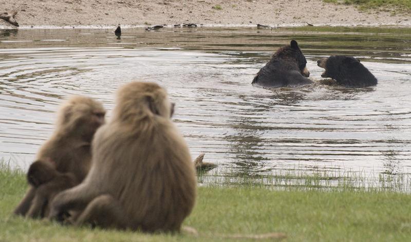 Bären machen sich zum Affen