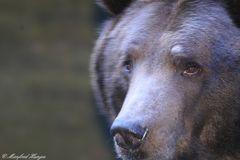 Bären-Portait