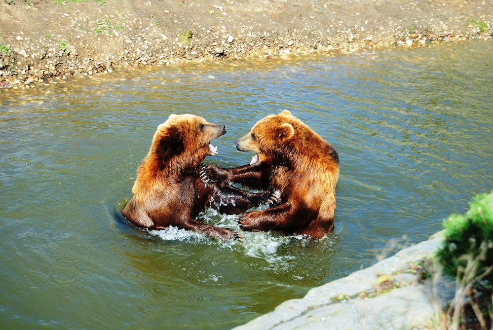 Bärenbrüder beim Kräftemessen