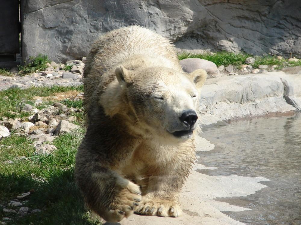 Bärendame mit kurzen Beinen
