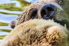 Bärengesicht