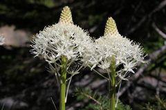 Bärengras - Xerophyllum tenax