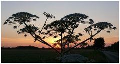 Bärenklau-Gewächs vor der untergehenden Sonne