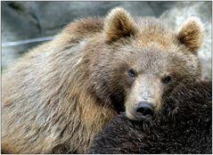 ... Bärenliebe ...
