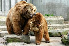 Bärenmachtkampf