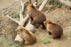 Bärenmutter mit ihren 2 Jungen