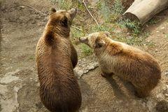 Bärenmutter mit Jungem im Bärenpark Bern ( CH )