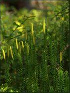 Bärlappe (2) – der Sprossende Bärlapp (Lycopodium annotinum)