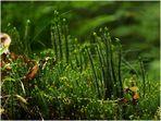 Bärlappe - die Tannen-Teufelsklaue (Huperzia selago)