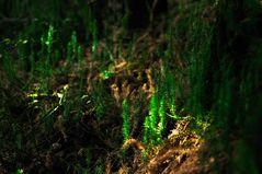 Bärlappwald im Biberkessel